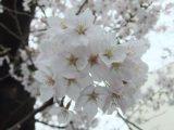 夜桜に癒される町